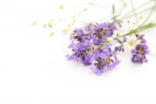 ラベンダー カスミソウ 花束 フレーム 背景 白バック 白背景 複数 花 切り花 ハーブ アロマ かすみ草