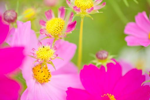 秋の風景 コスモス アキザクラ 秋桜 花畑 花園 花びら つぼみ 花弁 がく 桃色 ピンク 黄色 緑 アップ 接写 植物 花 草花 散歩 散策 自然 風景 景色 真心 のどか 鮮やか 華やか 美しい 綺麗 明るい ボケ味 ピントぼけ