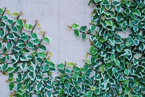 塗り壁 壁 カベ かべ 蔦 植物 緑 つた 葉 葉っぱ 蔓 蔓性 グリーン フィカスプミラ フィカス・プミラ クワ科 覆輪斑 斑 斑入り サニー プミラサニー バックグラウンド 背景 テクスチャ テクスチャー