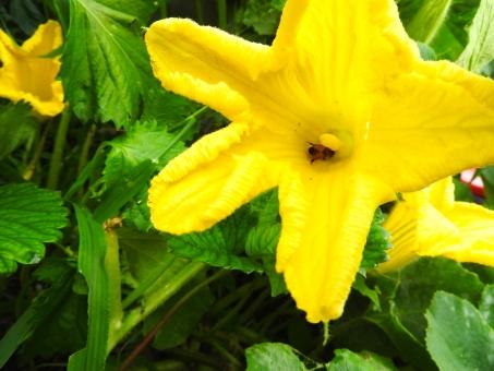 みつばち ミツバチ 蜜蜂 みつ蜂 はち ハチ 蜂 虫 花粉 蜜 カボチャの花 南瓜の花 かぼちゃの花 季節 7月 8月 夏 素材 材料 自然 風景 背景 アップ 生き物 生者 いきもの 生きもの 花 植物 黄色い花 黄色 引き 余白