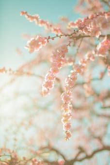 自然 植物 花 花びら 白色 ピンク色 桃色 垂れる 枝垂れ 梅 アップ ピンボケ ぼやける 沢山 集まる 密集 多い 満開 咲く 開花 開く 枝 成長 育つ 伸びる 空 青空 晴天 晴れ 天気 無人 室外 屋外 風景 景色 加工 太陽 太陽光 光 陽射し 眩しい 幻想的