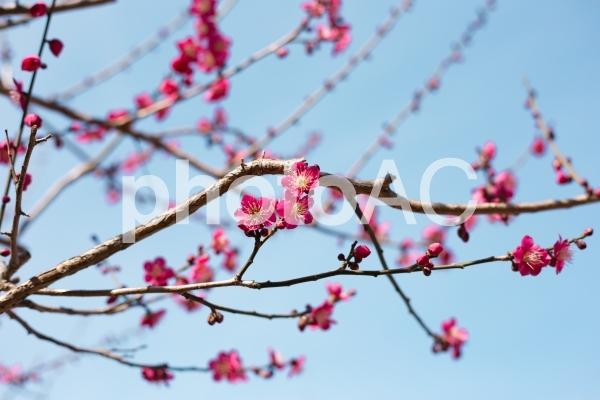 春の始めの紅梅と昼間の空の写真