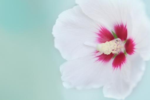 ムクゲ むくげ 夏 白 白い花 ピンク 花壇 夏休み キラキラ 花畑 葉 庭 園芸 風景 景色 緑 季節 草花 花 植物 グリーン ナチュラル 可愛い 背景 背景素材 テキストスペース コピースペース コピー アップ クローズアップ 接写