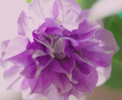 八重咲きペチュニア ペチュニア 花 紫 ガーデン パープル 花びら ナチュラル 夏 秋
