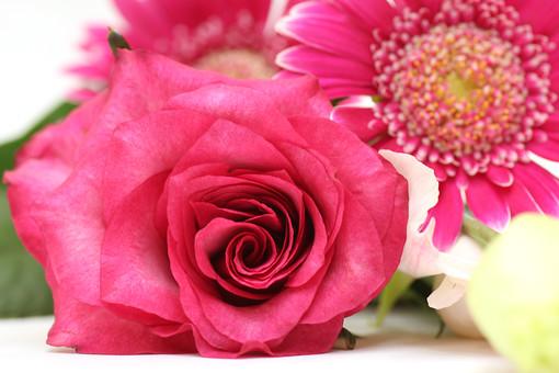 ばら バラ 薔薇 ピンク ガーベラ 花 植物 フラワー 種子植物 花弁 花びら 生花 愛 美 しとやか 上品 感銘 白背景 白バック ホワイトバック ピンクの花 葉 葉っぱ 熱愛 崇高美 童心に帰る