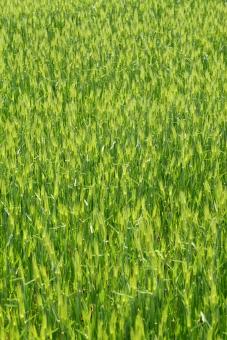 麦畑 緑色 畑 農作物 麦 むぎ むぎ畑 ムギ畑 穀物 麦芽 緑 小麦 大麦 コムギ こむぎ 穂 麦の穂 植物 春 夏 郊外 作物 農業 実 成長 栽培 田畑 種 育つ 自然 食べ物 一面 全面 風景 背景 バックグラウンド 食材 アップ 明るい 葉 葉っぱ 田園 田園風景 背景素材 背景イメージ 無人