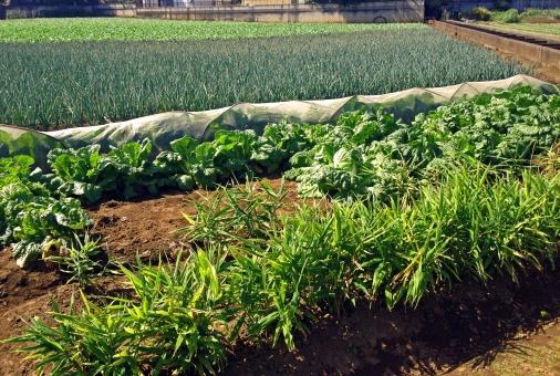 農地 農業 畑 ファーム 野菜 栽培 植物 葉物 緑 自然 田園風景 土 農作物 ねぎ ネギ 葱 晴天 快晴 季節 晴れ 田舎 風景 景色