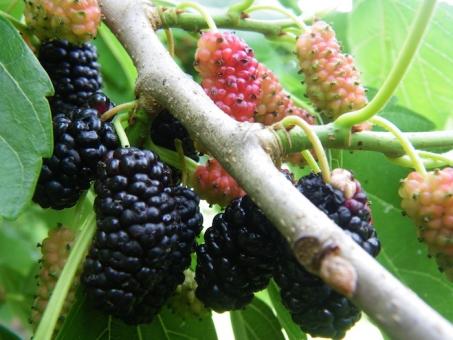 桑 桑グミ グミ 桑ぐみ 植物 かいこ 養蚕 餌 葉 赤 黒 作物 農家 製糸 絹 自然 桑の実 野菜 果物 製糸場 フルーティ フルーツ