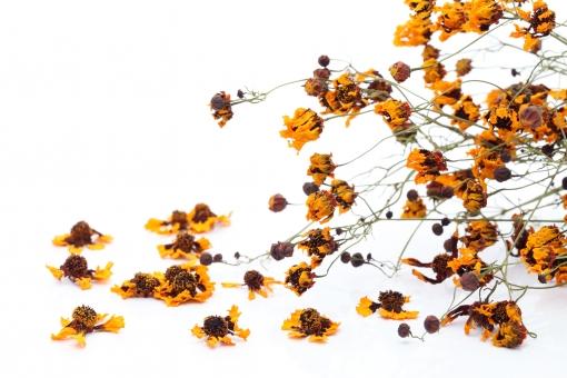 ドライフラワー 花びら フラワー 花 花弁 植物 自然 質感 茎 蕾 葉 模様 素材 フラワーアレンジ フラワーアレンジメント 束 乾燥 萎れた しおれた 枯れた 枯れる ポプリ アロマ 白バック 白背景 余白 コピースペース スペース スタジオ スタジオ撮影 イメージ 黄色 緑色 コスモス 枯れた花