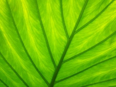 観葉植物の葉脈の写真
