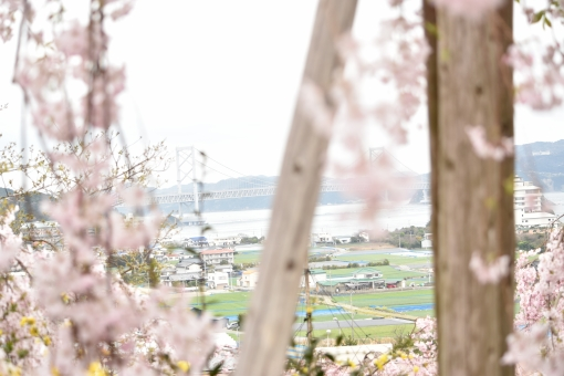 はなみやま 花見山 しだれさくら しだれ桜 しだれざくら 枝垂桜 ピンク ぴんく はな 花 さくら 桜 サクラ はなみ 花見 はる 春 きれい キレイ 綺麗 うつくしい 美しい 植物 屋外 自然 風景 おおなるときょう 大鳴門橋 なると ナルト naruto 鳴門