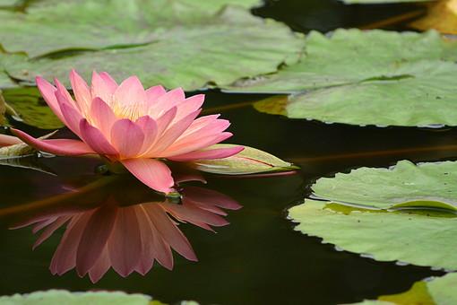 自然 植物 池 蓮池 草花 草 葉 葉っぱ 伸びる 浮かぶ ハスの葉 花 ハス 蓮 蓮の花 蓮花 桃色の花 ピンク 仏 ロータス ヨガ めしべ おしべ 水面 影 アップ クローズアップ 接写
