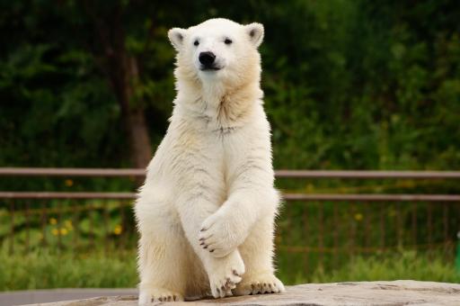 動物 シロクマ しろくま 哺乳類 陸の動物 北極 ホッキョクグマ 白熊 北極熊 野生 生物 自然 北海道 札幌 動物園 円山 円山動物園 観光 しろ 白 白色 絶滅危惧種 肉食 かわいい 人気 クマ属
