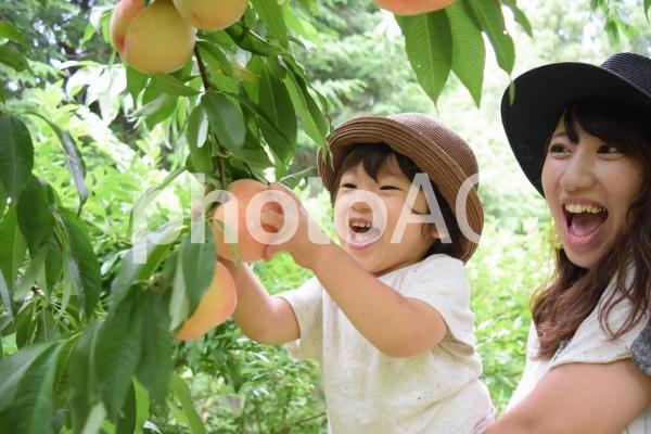 桃狩りを楽しむ親子の写真