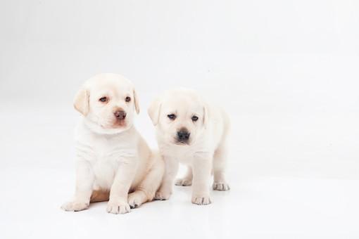 ポーズ 動物 生物 生き物 哺乳類 ほ乳類 犬 いぬ イヌ ドッグ ラブラドールレトリバー ラブラドール ラブ こいぬ 仔犬 子イヌ パピー かわいい 可愛い 赤ちゃん 2匹 二匹 お座り おすわり 白背景 白バック グレーバック 十二支 干支 戌 複数