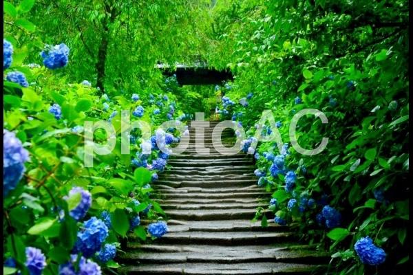 鎌倉 紫陽花の写真