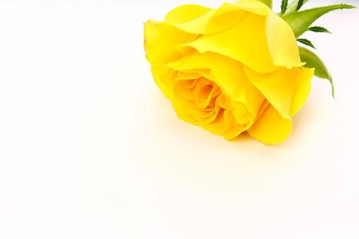 父の日 イベント プレゼント ギフト 行事  花 フラワー 生花 バラ ばら 薔薇 明るい さわやか 爽やか   黄色  6月 六月  贈る   スペース 文字スペース テキストスペース 一輪 1本 白 白バック