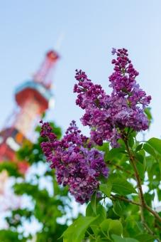 ライラック 華 花 初夏 ライラック祭り 祭り フラワー 北海道 札幌 北国 道央 植物 日本 大通 華やか 蠱惑的 魅惑 風物詩