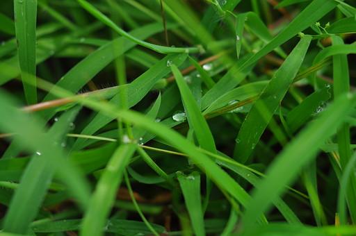 外国 海外 アジア 東南アジア フィリピン 熱帯 モンスーン 多雨 雨期 屋外 野外  自然 風景 景色 植物 緑 草花 草 雑草 道草 草原 草野 野原 露 雫 滴 しずく 水玉 水 玉 キラキラ 輝く 雨上がり 雨後 接写 アップ
