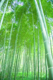 自然 植物 木 樹木 竹 バンブー 竹林 林 森 森林 空 成長 伸びる 育つ 高い 葉 葉っぱ 緑 密集 多い 集まる 沢山 並ぶ ローアングル アップ 無人 室外 屋外 風景 景色 加工 太陽 太陽光 光 陽射し 木漏れ日