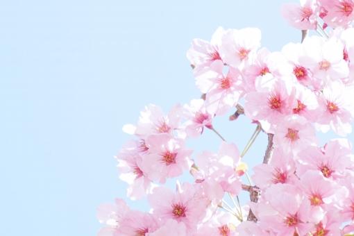 青空 陽光 ようこう 陽光桜 桜 サクラ さくら cherry blossom 満開 花 華 フラワー 花見 お花見 春 卒業 入学 入社 出会い 別れ 幸 幸せ 祝福 清楚 可憐 和 光 公園 青 水色 ピンク 自然 風景 植物 背景 background 余白 コピースペース