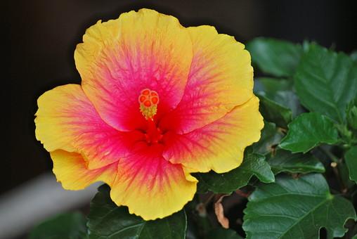 ハイビスカス 花 ピンクの花 黄色い花 南国 植物 アップ ガーデニング 園芸 趣味 育てる 自然 栽培 鑑賞 伸びる 育つ 成長 屋外 外 庭 ピンク 綺麗 咲く めしべ おしべ