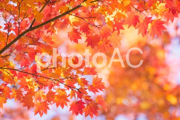 紅葉した楓の葉の写真