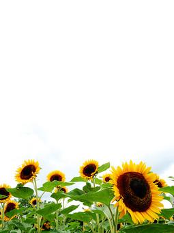 背景 フレーム バックグラウンド 素材 枠 写真 加工 CG グラフィック 枠組み 背景素材 フレーム素材 テンプレート フォトフレーム ひな型 ひまわり ヒマワリ 向日葵 花 花びら 葉 葉っぱ 緑 黄色 オレンジ色 橙色 植物 自然 下 並ぶ 並べる 白 白背景 スペース 隙間 空間