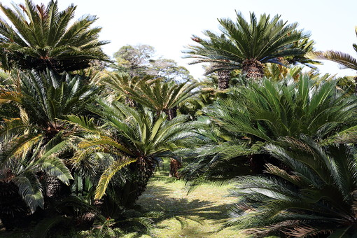 南国 南国風 ガーデン 背景 植物 風景 自然 明るい  屋外 ガーデニング 葉 葉っぱ 樹木 木 樹 植物園 葉 葉っぱ 南国植物 熱帯植物 栽培 群生 緑 空 青空
