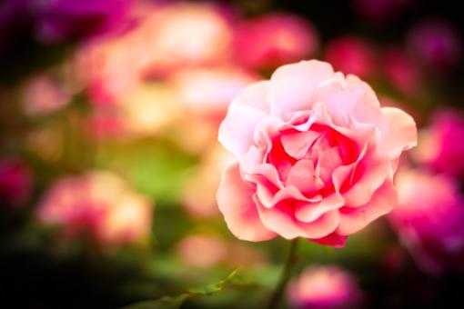 ピンク 桃色 薔薇 ばら バラ 花 植物 可愛い 綺麗 自然 春 夏 カード プレゼント 贈り物 女性 父の日 母の日 結婚式 スペース 人気 素材 ぼかし