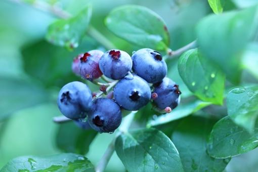 ブルーベリー アントシアニン blueberry ベリー ブルーベリー狩り ブルーベリー摘み 眼に良い 視力 サプリメント ヨーグルト ビタミン 新鮮 摘みたて 朝食 フルーツ スペース 雨 雨上がり 雨の雫 キラキラ ブルーベリーの木 実 果実 背景 背景素材 テキストスペース コピースペース コピー アップ クローズアップ 接写