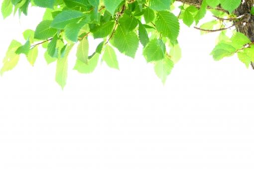 白背景 スペース 植物 健康 明るい 日差し 夏 朝 ナチュラル 緑 グリーン コピースペース 白 葉 葉っぱ 樹木 新緑 自然 枝 素材 背景 反射 芝 木漏れ日 パーク 芝生 緑色 昼 エコ 若葉 木洩れ日 木もれ日 日光 初夏 壁紙 ポストカード シンプル キラキラ 日焼け UV 文字スペース 土台 紫外線 ベース 絵葉書 ひだまり 文字入れ 切りぬき ぬき psd