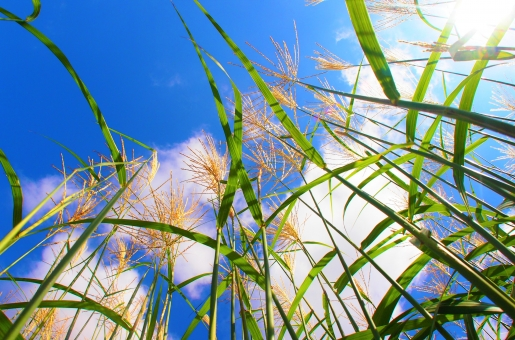 見上げる リラックス 植物 明るい 陽射し 青空 晴れ 快晴 緑 グリーン 風景 景色 木 テキスト コピースペース 野外 晴天 葉 青 自然 雑木林 素材 癒し ふわふわ 雲 カラフル 雑草 静か 爽やか 太陽 ドラマチック 清らか ダイナミック 風 秋 清潔感 黄金色 イネ科 秋空 イメージ テクスチャー シンプル ススキ 鮮やか ヒーリング すすき 静寂 季節感 淋しい そよ風