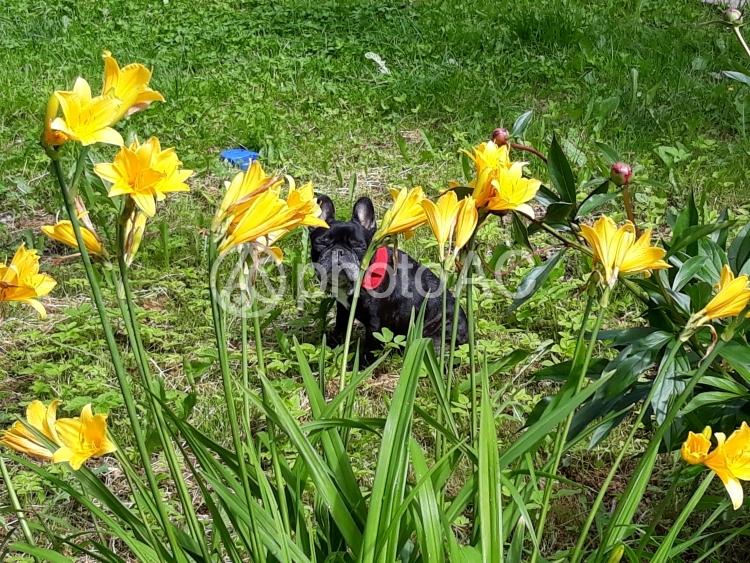 花とフレンチブルドックの写真