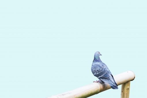 案内 白バック 挨拶 メッセージ 明るい プレゼント ギフト 贈り物 かわいい 屋外 フレーム コピースペース 名刺 自然 素材 背景 生き物 動物 可愛い カード 鳥 はと 鳩 ハト 野生 野鳥 バックグラウンド 背景素材 イメージ デザイン グラフィック ポストカード 正月 年賀状 メッセージカード 切り抜き グリーティングカード はがき ハガキ 葉書 バッググラウンド 暑中見舞い パス 合成 年賀状素材 挨拶状 BG 野鳩