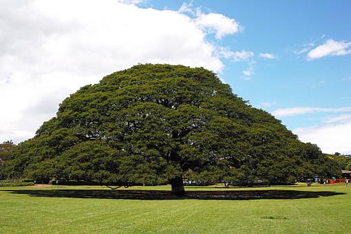 日立の樹の写真