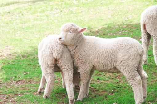 羊 ひつじ 未 ヒツジ 十二支 動物 生き物 年賀状 干支