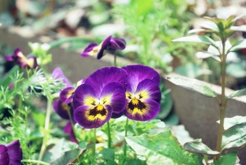 ビオラ 紫 パープル 花 植物 自然 園芸 ガーデニング 春 3月 4月 緑 グリーン カラフル かわいい 庭