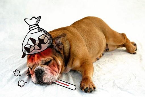 白バック 白背景 健康 イラスト 熱 風邪 カゼ 病気 発熱 インフルエンザ 犬 ホワイトバック イヌ 病院 いぬ 体温計 CG ヘルスケア 合成 ブルドッグ 高熱 氷のう 氷嚢 氷枕 氷袋 氷まくら CG01