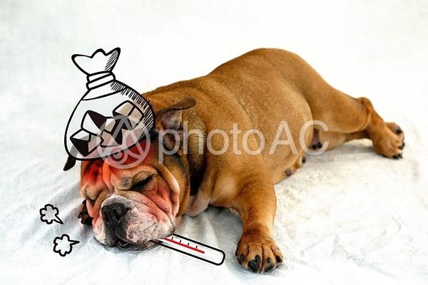 熱がある犬の写真