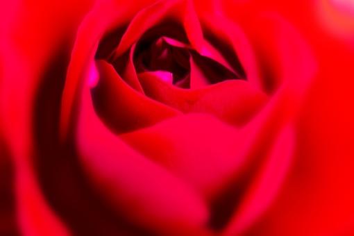植物 自然 花 バラ ばら 薔薇 華やか 豪華 ゴージャス エレガント ローズ ローズガーデン 背景 壁紙 バラ園 薔薇園 花園 庭 公園 ブライダル ウエディング 結婚式 結婚 つるバラ 蔓バラ 蔓薔薇 明るい 赤 深紅 アップ クローズアップ 柔らかい ソフト
