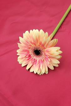 お花     ガーベラ 黄色 バック 布 光沢 赤  花      植物     花びら     無人     フラワー  コピースペース