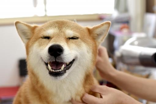 柴犬・トリミング中の写真