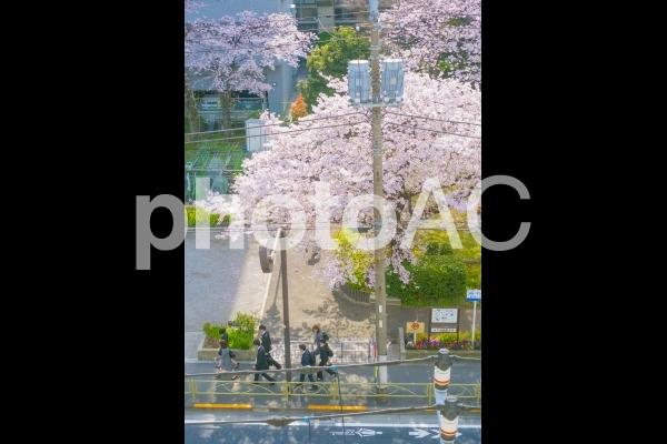 満開の桜と新社会人の写真