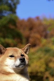 柴犬・紅葉の写真