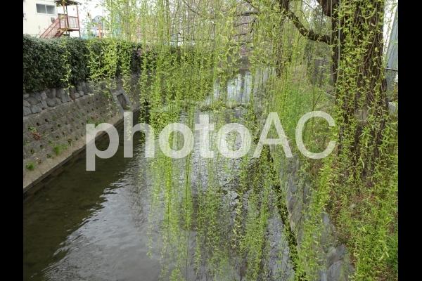 新緑の柳の写真