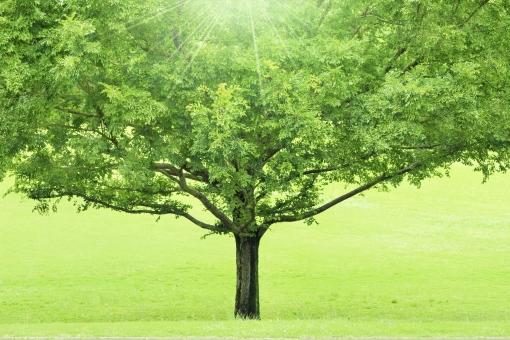 光を浴びる大きな木の写真