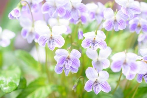 すみれ スミレ 菫 花 植物 満開 一面 ガーデニング 花壇 むらさき ムラサキ 紫 白 壁紙 背景 コピースペース 文字スペース クローズアップ アップ ふんわり