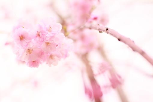 桜 さくら サクラ 春 満開 開花 花びら ピンク 桃色 ピンクの花 桃色の花 アップ おしべ めしべ 枝 植物 樹 樹木 木 屋外 綺麗 咲く 暖かい かわいい 明るい