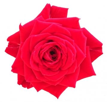 バラ赤の写真